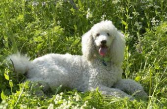 puppy mill poodle Leo May 23 2010
