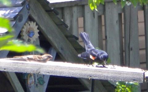 Redwing Blackbird photo D Stewart