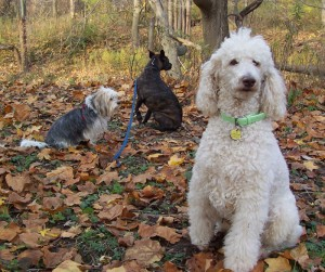 Leo & Charlie, with friend Lucy, at St. Thomas dog park 09