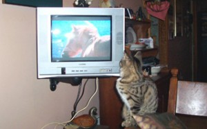 kitten watching horse on tv