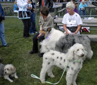 Charlie, Leo & Magic in line for dog show photo D Stewart