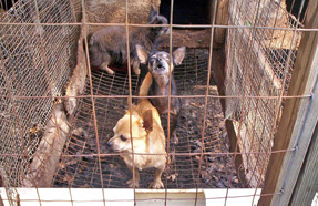Puppy mill 01-USA-PETA-wikipedia