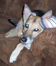 Dallas, a Shepherd cross, at home on the couch
