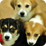 Happy puppies, from ASPCA website - breeding of animals