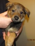 Prancer, 1 of 7 shepherd mix pups rescued by ABCR Dec 2010