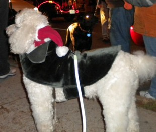 Santa Claus parade Poodle waiting to start