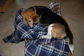 Hound dog sleeping on blanket