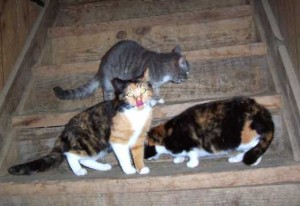 3 barn cats on steps - farm animals