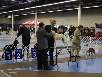 Judge assessing dog, kennel club dog show London 2010