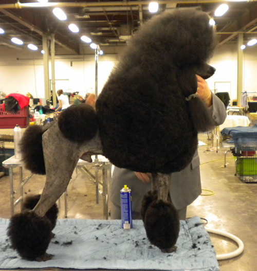 Poodle getting final grooming
