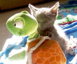 sleepy kitten with turtle toy