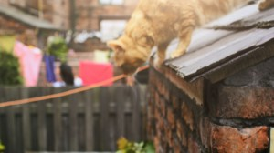 New orange Coronation Street cat