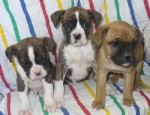 puppies for sale ad