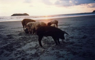 pigs scavenging on beach at sunset photo Dorothy Stewart