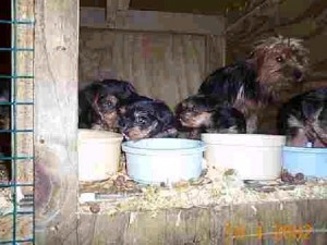 puppy mill terrier mother and pups