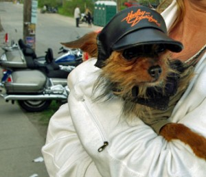 Friday the 13th Yorkie with a new HD hat