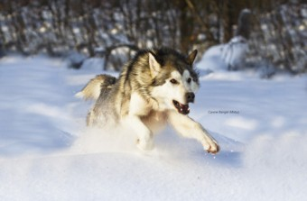 photo of sled dog in snow by Magnus-Manske