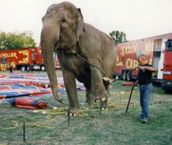 elephant pulling up tent peg, Kelly Miller Circus