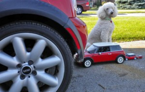 MINI toys following MINI, with poodle