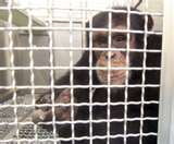 Chimp in a lab cage (Capital Chimpanzee Exhibit, AHS 2009)