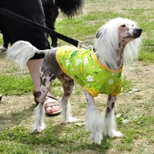 Chinese Crested from Crest Care rescue