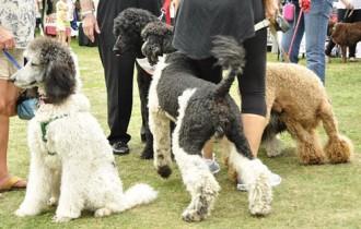 Poodles at Pawlooza