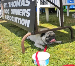 pug having a rest at STDOA booth on rescue row
