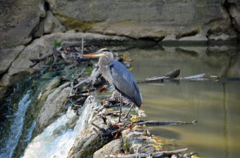 Heron on dam at Waterworks Park, St. Thomas, Ontario