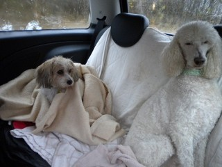 Wet dogs back in car