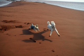 dogs running on beach, Union Corner PEI