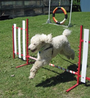 Poodle doing agility jump at Moore Water Gardens Port Stanley