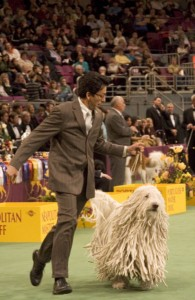 Komondor in ring at Westminster