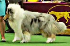 Wyndlair Cherokee Vindication, Vinnie, Westminster Best of Breed Collie 2012