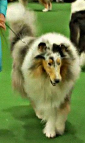 Wyndlair Cherokee Vindication aka Vinnie Westminster 2012 Best Collie
