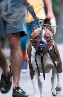 Muzzled Pittie wikicommons - legislation about animals