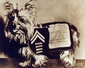 Yorkshire Terrier Smoky in her specially made war coat