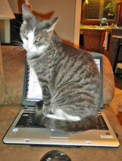 cat sitting on laptop