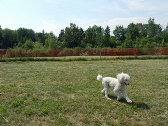 two dog parks, poodle running in Sussex dog park