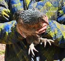 boy holding Phoenix hen