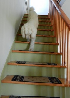 dog coming down stairs
