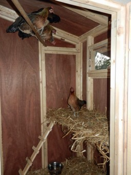 hens on coop perch and shelf