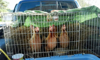 hens in cage in truck bed