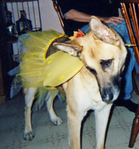 German Shepherd in pixie outfit