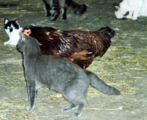 barn cats looking at hen