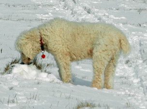 White poodle in snow-photo-D-Stewart