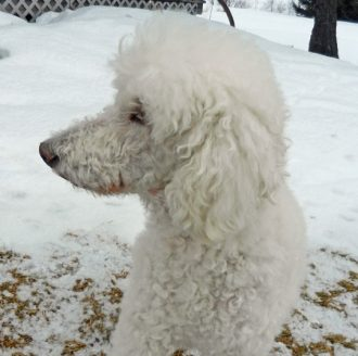 clean poodle in snow-photo-D-Stewart