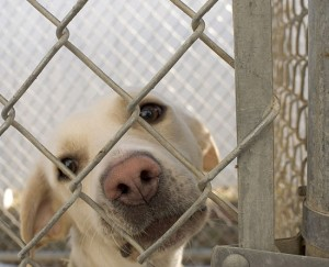 Dog in animal shelter in Washington, Iowa, Nhandler Wikicommons