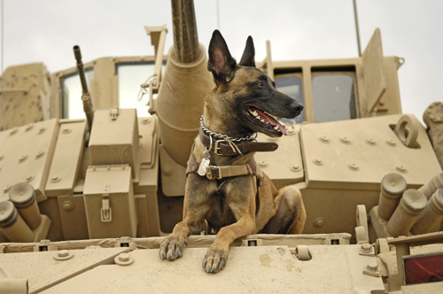 U.S._Air_Force_military_working_dog_Jackson_on_US_Army_M2A3_Bradley_Fighting_Vehicle_Iraq_Feb_13_2007 wikicommons
