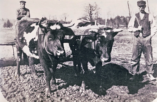 Burwells-Fred and Silas-c-1913 with oxen and plough