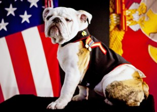mascot_of_the_Marine_Corps,_English_bulldog_Pfc._Chesty_XIV,-Arlington,_VA-wikicommons